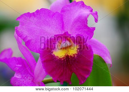 Pink Yellow Orchid Flower