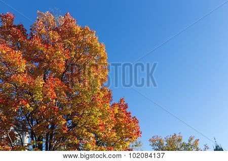 Maples Trees In The Fall In Canada
