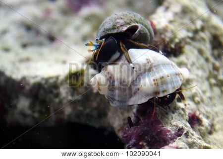 Hermit Crabs Fight