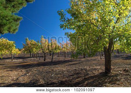 Gran Canaria, Autumnal Fruit Garden In Las Cumbres, Highest Ares Of The Island