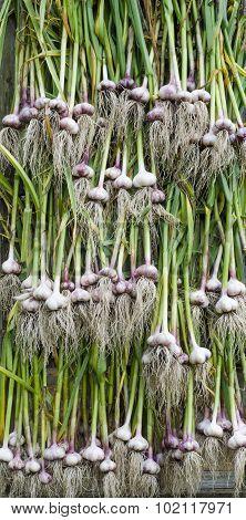 Drying Of Garlic