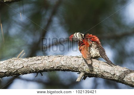 Black-rumped Flameback In Ella, Sri Lanka