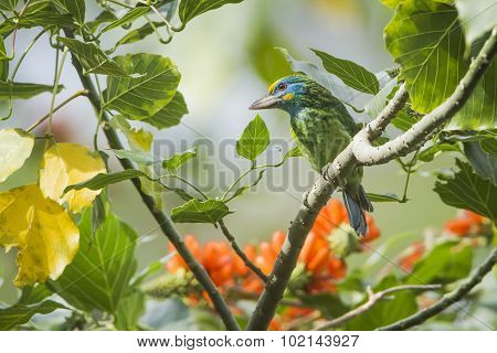 Yellow-fronted Barbet In Ella, Sri Lanka
