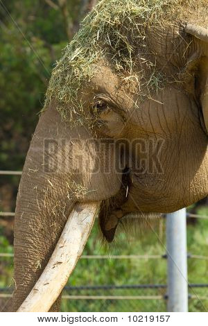 elephant playing with hay