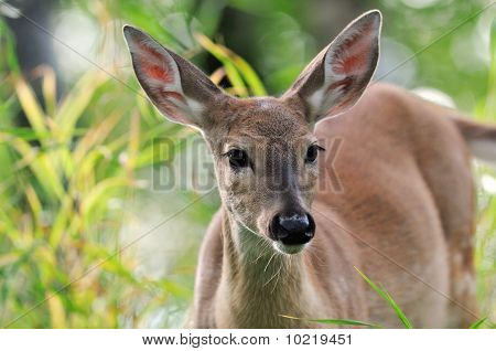 White Tail Deer Doe In Green Grass
