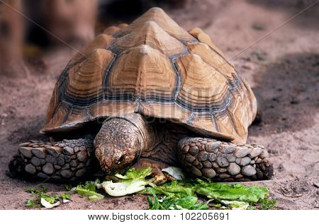 Wildlife Photos - Aldabra Giant Tortoise