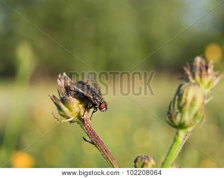common blowfly (Sarcophaga carnaria)