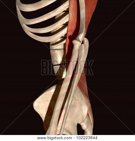 skeleton ribs parts