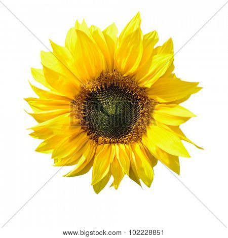 sunflower isolated on white background with a clipping path