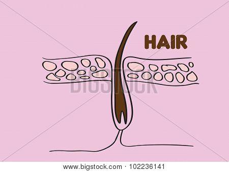 Hair Follicle Vector Illustration