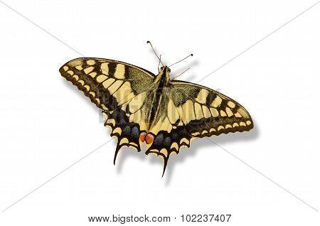 Swallowtail Butterfly Shadow