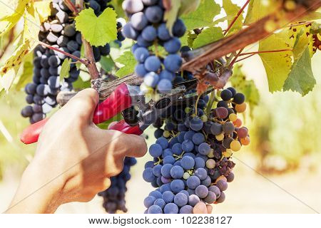 Closeup Of Hands To Gather A Bunch Of Grapes