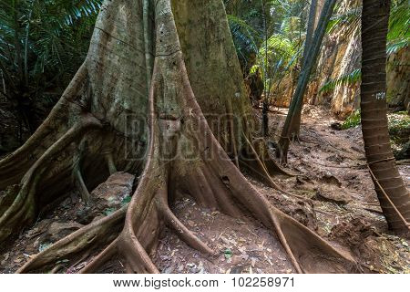 Huge fig tree trunk in jungle undergrowth in Ao Nang, Krabi, Thailand