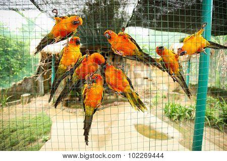 Sun conure parrots in aviary
