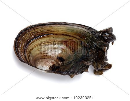 River Mussel (anodonta) With Small Mussels