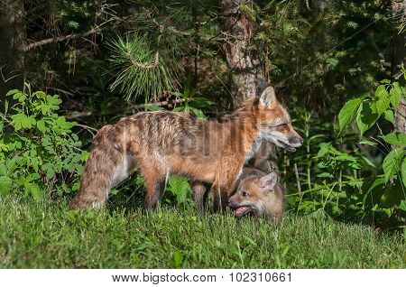 Red Fox Vixen (vulpes Vulpes) With Kit By Edge Of Woods