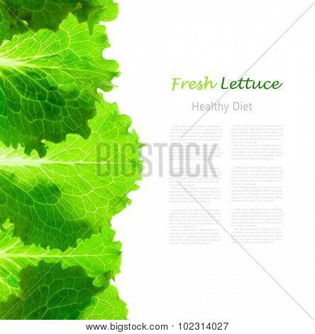 Fresh Lettuce Border /  leaves isolated on white background / close-up