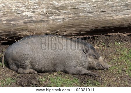 Visayan Warty Pig Sow Sleeping
