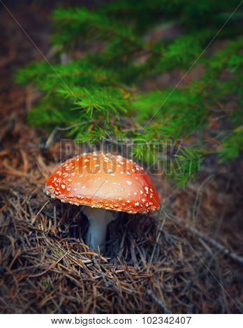 Amanita mushroom in autumn forest, beautiful little toxic fungus with red hat and white spot on it, dangerous and inedible toadstool