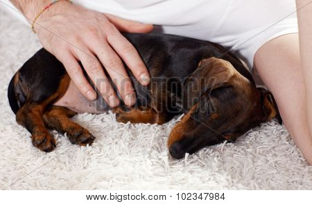 Closeup photo of sleeping dachshund puppy caressed by male hand.