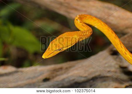 Oriental Whip Snake Ahaetulla Prasina Yellow Gold Colour