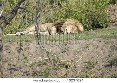 Lion Panthera Leo