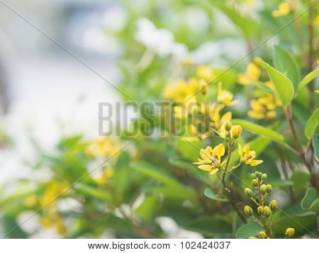 Yellow Galphimia Flowers In GREEN Garden.