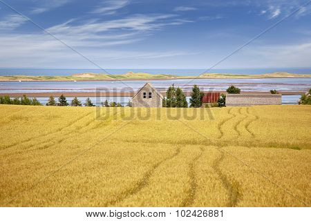 Shoreline of northern Prince Edward Island with summer field of grain.