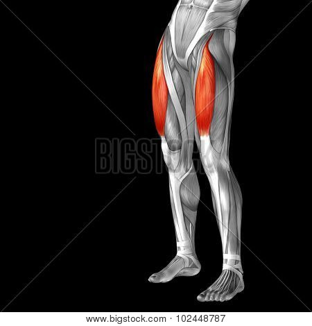 Concept or conceptual 3D adductor longus human upper leg anatomy or anatomical and muscle isolated on black background poster