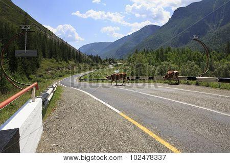 Cows walk on Chuysky Trakt.