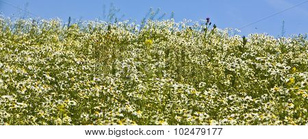 Meadow Of Camomiles