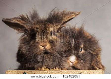 Furry lion head rabbit bunnys looking at the camera while lying on on wood box.