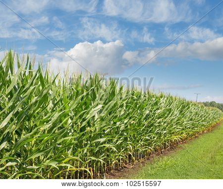 Corn Field Crops