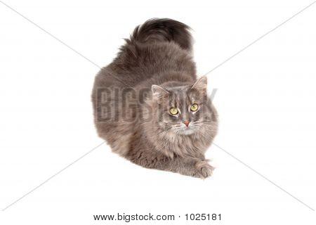 Cute Gray Cat