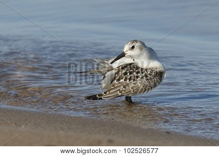 Juvenile Sanderling Preening Its Feathers On A Lake Huron Beach