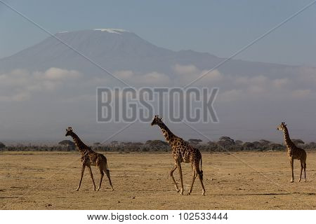 Giraffe at Mt. Kilimanjaro