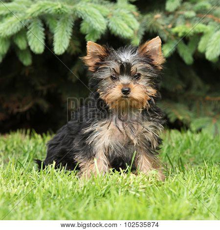 Gorgeous Puppy Of Yorkshire Terrier In The Garden