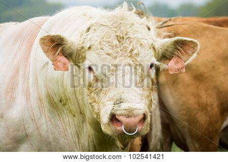 White Bull In Pasture