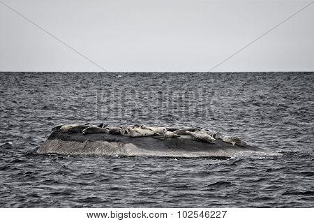Seals On A Rocky Island