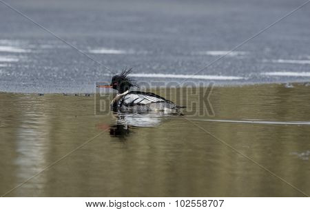 A Goosander swimming on a Scottish loch
