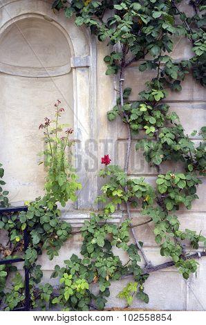 Climbing rosebush. Color image