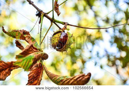 Ajar Chestnut Growing On The Tree