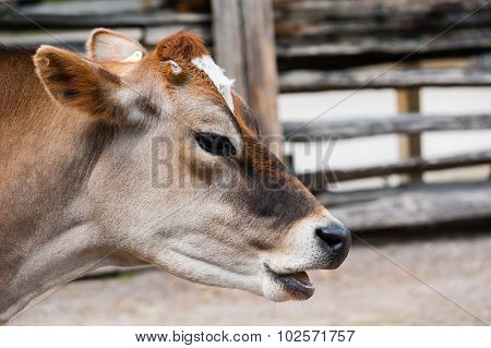 Close-up Of Jersey Cow Head With Mouth Open