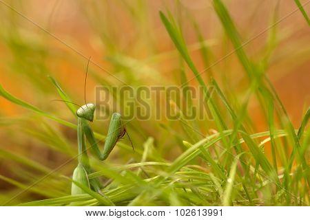 green praying mantis in green grass on sunset sky background
