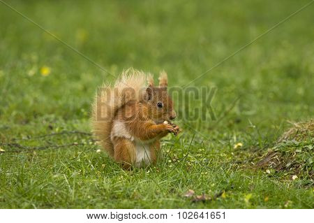 Red squirrel Sciurus vulgaris sitting on the grass nibbling a nut