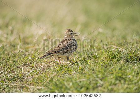 Skylark Alauda arvensis on the grass tweeting