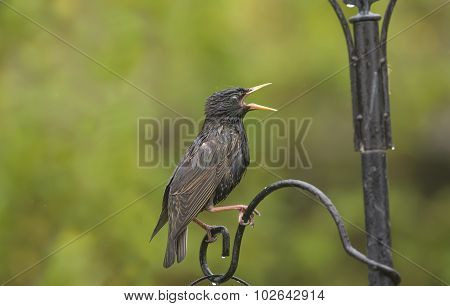 Starling Sturnus vulgaris perched on a feeder squawking