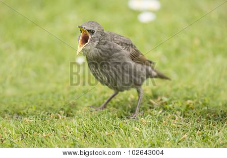 Starling Sturnus vulgaris baby standing on the grass squawking for food