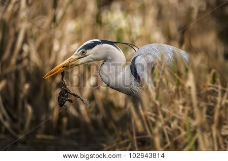 Grey Heron ardea cinerea in reeds with frog in its beak poster