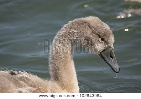 Cygnet portrait on the river close up with a drip on its beak